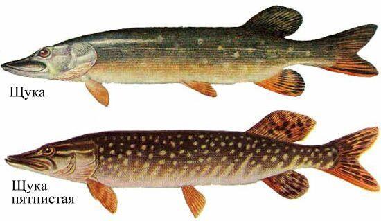 Щука - один из грознейших представителей хищного вида речных рыб.